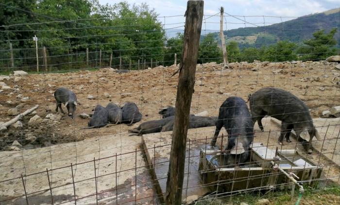 The pig Suino Nero Macchiaiola Maremmana®